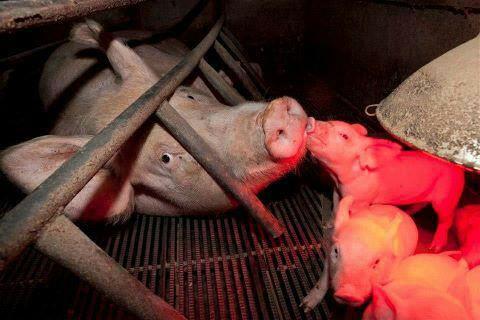 Veganismo: la lucha por los derechos de los DEMÁS animales